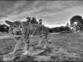 Тигр на детской площадке города Малоархангельска