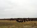 Овечье стадо близ Луковца