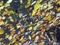 Течение реки ещё слабое, и близ свай перехода собираются листья
