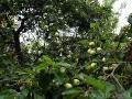 Заброшенный яблоневый сад в старом Луковце
