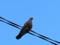 Эта голубка решила остаться в Малоархангельске.