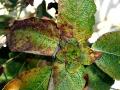 Верующие считают это чудом: на концах веточек листья образуют розочки.