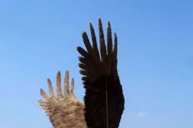 Крылья мехового Орла на Привокзалке