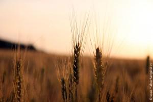 Колос. В Малоархангельском районе состоялась приемка первого хлеба.