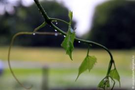 Ветка винограда после дождя