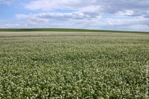Гречишное поле