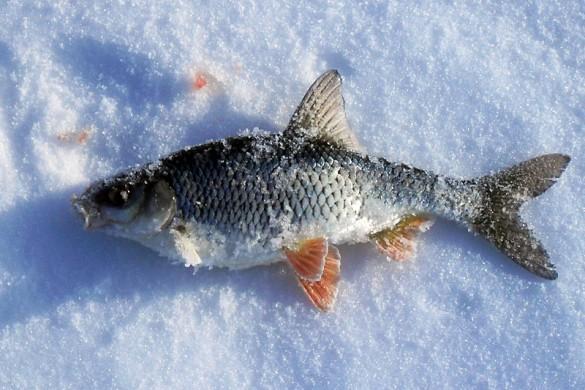 Самую крупную рыбу на соревнованиях поймал Кленышев Ю. Вот и она.
