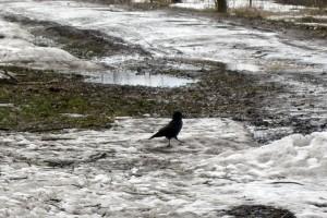 Грач, вернувшийся с юга, гуляет по снегу.