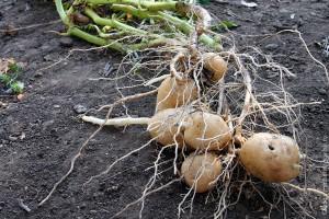 Картофель урожая 2010 года.