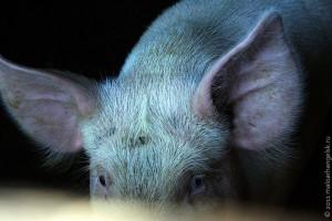 «Я люблю свиней. Собаки смотрят на нас снизу вверх. Кошки смотрят на нас сверху вниз. Свиньи смотрят на нас, как на равных». У. Черчилль.