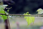 Капли дождя на виноградной ветви.