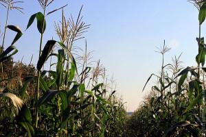 Кукурузное поле.