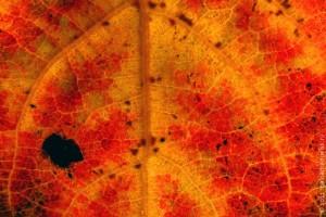 Лист осины.