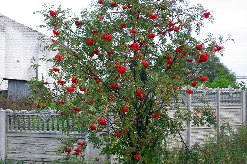 Как вырастить плакучее дерево  Своими руками  Как