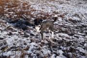 Собака на снегу.