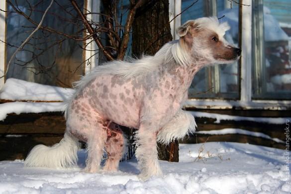 Собака Пифа ёжится и рассматривает снег.