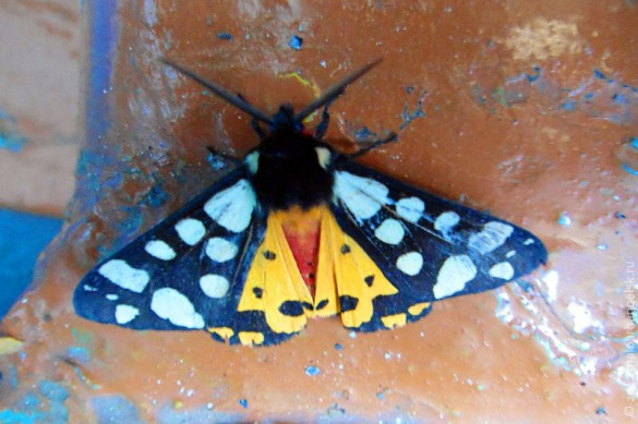 Ночная бабочка медведица подорожниковая с раскрывшимися крылышками.