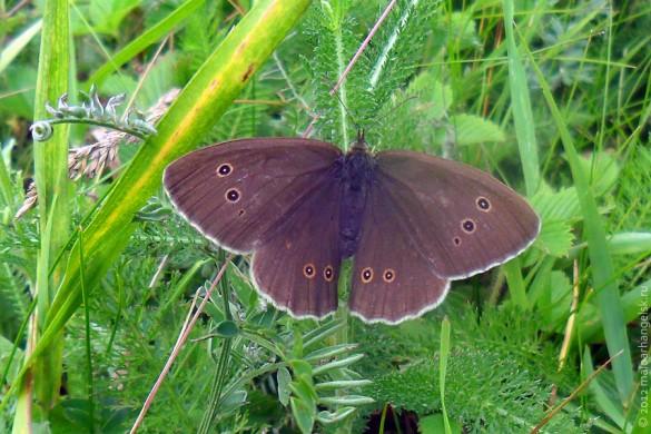 Бабочка крупноглазка или желтоглазка придорожная.