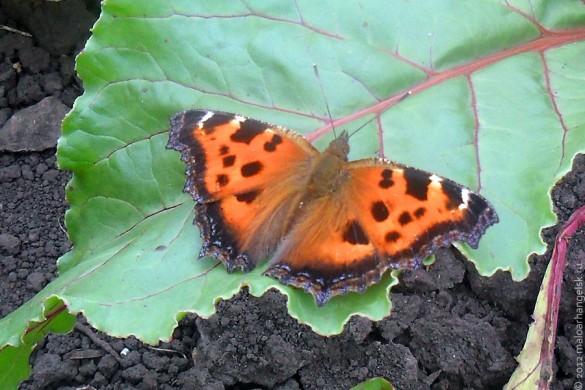 Многоцветница — дневная бабочка из семейства нимфалид.