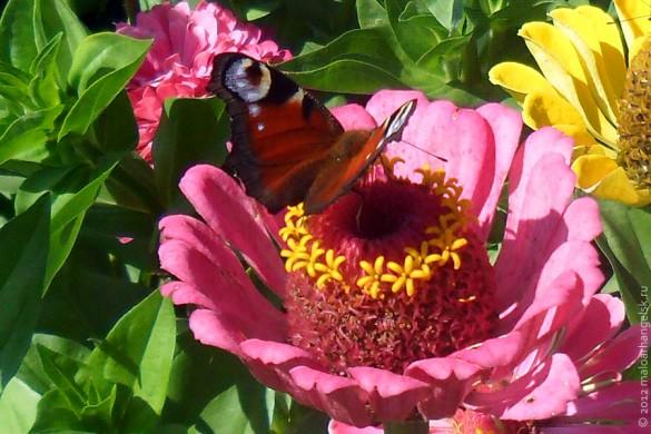 Бабочка павлиний глаз.
