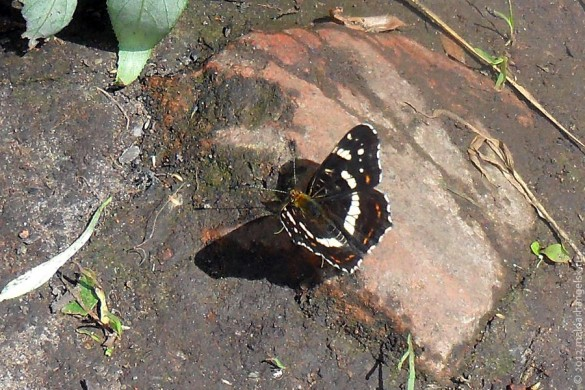Бабочка переливница ивовая.