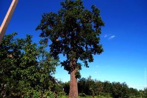 Малоархангельский дуб.