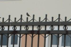 Горихвостка на заборе.
