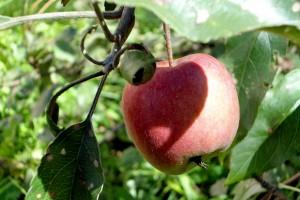 Старая яблоня.
