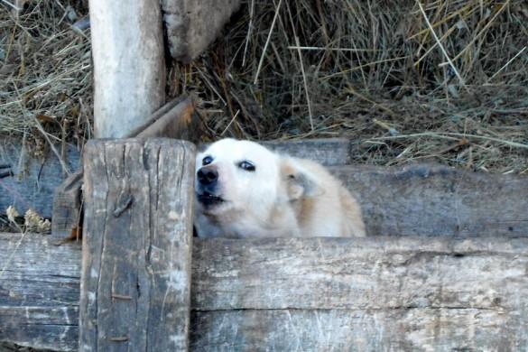 Храбрая Удеревская Собака.