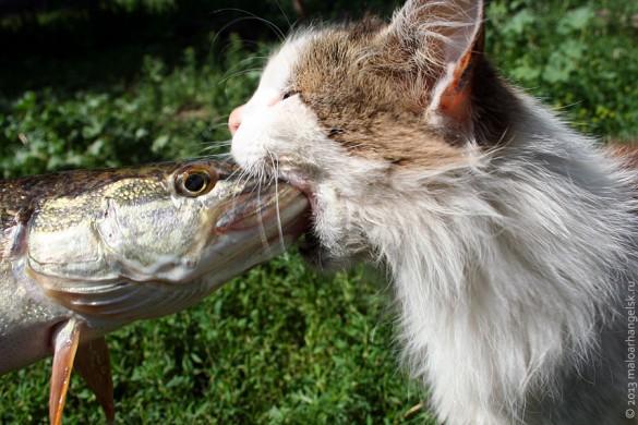 Кошка меряется силами со щукой.