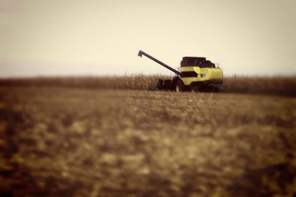 Кукуруза на поле.
