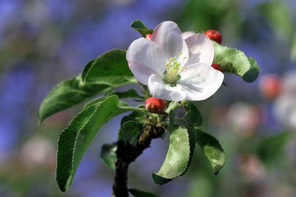 Цветущая яблоня.