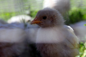 Серые цыплята цыганской породы.