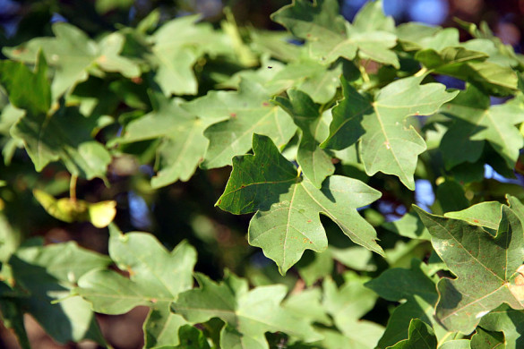 Листья клена.