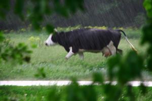 Корова под дождём.