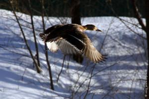 Летящая утка.