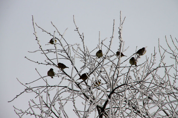 Овсянки и воробьи на дереве.
