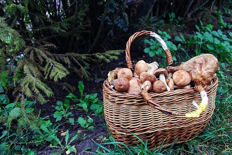 Корзинка полна грибов