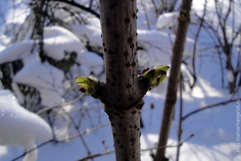 Мороз, а на бузине зелёные почки.