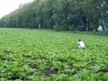 На свекловичном поле помимо сахаристых корнеплодов растёт девица, возможно что и красавица.