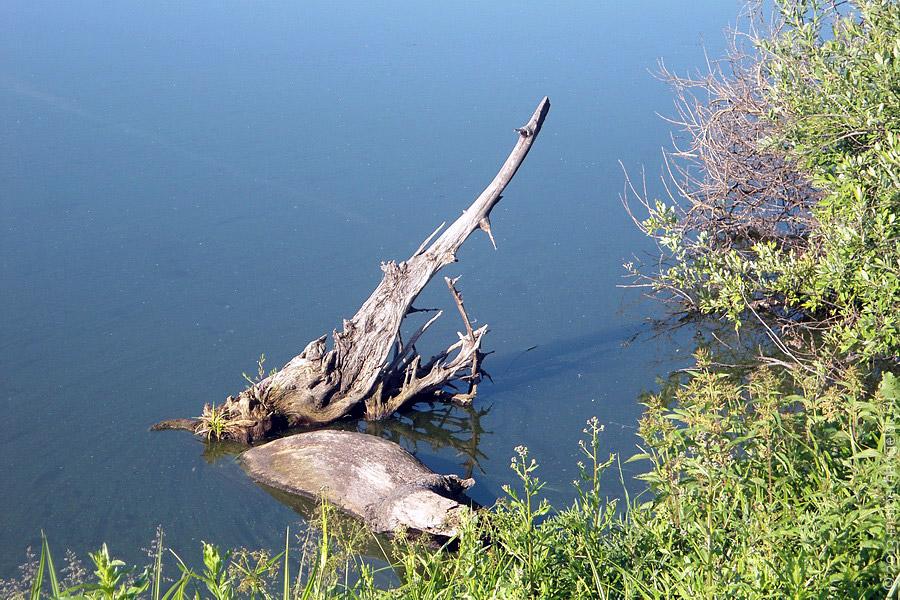 Зубастая щука высунула голову из Прогрессовского пруда.