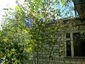 Под окошком дома паломника то самое дерево с розочками.