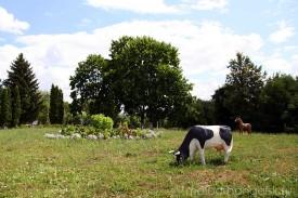 Корова летом