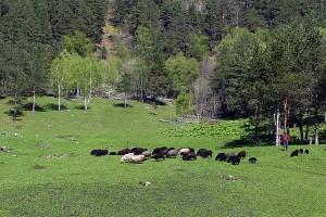 Стадо овец карачаевской породы в Дуутском ущелье