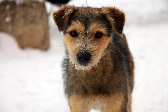 Пёс трудной судьбы в феврале 2011 года.