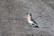 Птица с розовой грудкой — самец коноплянки (реполова).