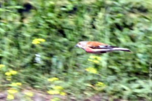 Летящий самец коноплянки (реполова).