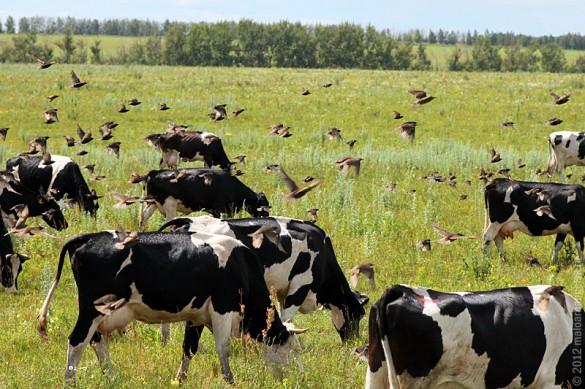 Скворцы следуют за коровьим стадом.