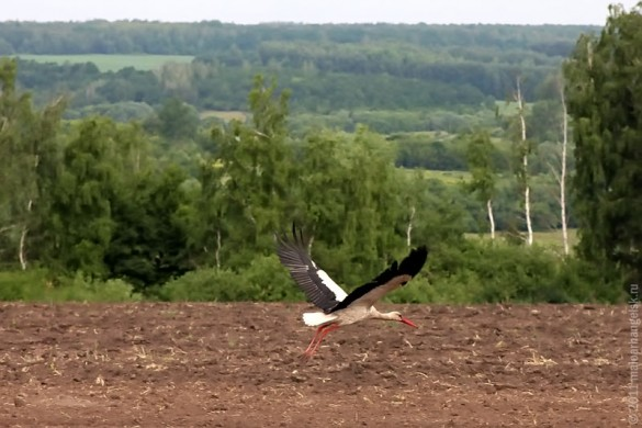 Аист в поле неподалёку от Дубовика.