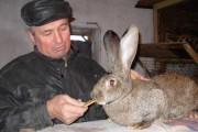 Лакомством для взрослых кроликов и малышей является отрубное несладкое печенье.